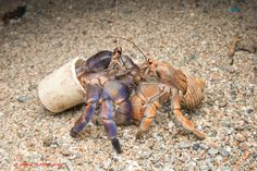 Instead of shells, these hermit crabs used plastic bottle caps and other trash.
