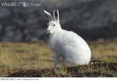 greenland animal images - Google Search