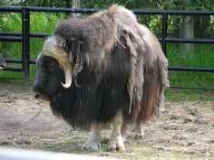 Musk Ox (Ovibos moschatus) - source of Qiviut  Image by Paul Huber - http://www.flickr.com/people/templarion/