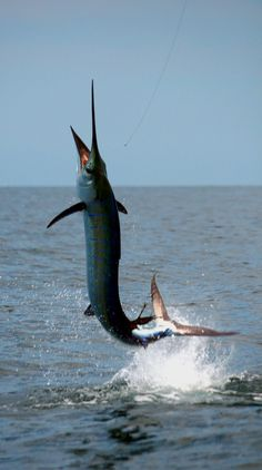 Jumping sailfish from Malaysia - Seatech Marine Products  Daily Watermakers