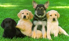 Guide Dogs for the Blind Inc. Puppy Raising - The King Link