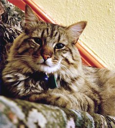 American Bobtail – Page 2 – Popular breeds of cats in USA I Love Cats, Cute Cats, Exotic Cat Breeds, Animals Beautiful, Cute Animals, American Bobtail Cat, Purebred Cats, Cats And Kittens, Kitty Cats