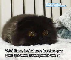 ce chat noir a les plus gros yeux jaunes jamais vus