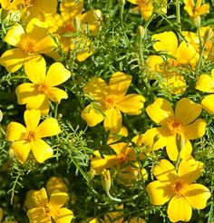 Plant produces colorful blossoms of yellow flowers. This annual has small bright yellow flowers with a lemon scent. Flowers used as edible garnish. Excellent for flower beds, borders and containers. Small Yellow Flowers, Bright Yellow, Marigold Flower, Garden Pests, Companion Planting, Edible Flowers, Summer Garden, Flower Beds, Geraniums