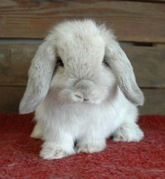 I'm defiantly getting a Holland Lop bunny!