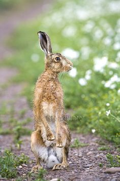 European brown hare stsnding on hind legs on a farm track