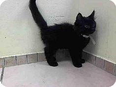 Brooklyn, NY - Domestic Mediumhair. Meet MATCH a Kitten for Adoption.