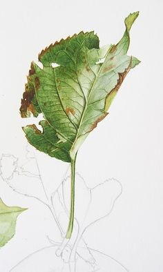 Bramley apple leaf from my early October tutorial - Billy Showell Leave In, Watercolour Tutorials, Watercolor Techniques, Botanical Drawings, Botanical Prints, Watercolor Leaves, Watercolor Paintings, Watercolors, Arte Sketchbook