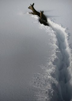 That is serious trail breaking - we needed these guys on the 2012 guides' snowshoe trip in Yosemite http://SierraSpirit.biz
