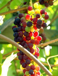 Flame Bunch Grape Vine --- The Flame grape vine yields fruit with a red skin with firm flesh and good eating quality. A very productive grape variety whose color may be affected in extremely hot areas. Cane pruning. Ripens in late July. Grows in zones: 6 - 10.