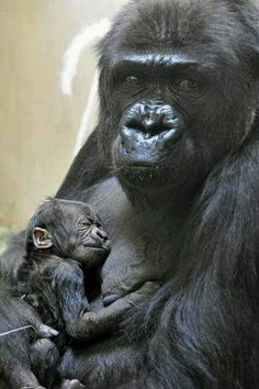 I have always been awestruck by gorillas...