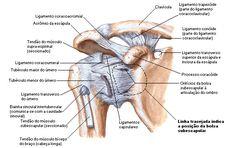 Aula de Anatomia   Ombro
