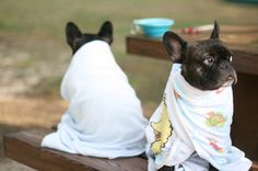 'Cold after a Swim', French Bulldogs wrapped in Towels.
