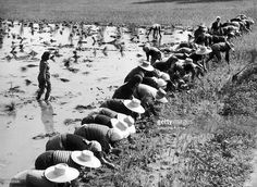 Rice culture in Italy. Women are planting rice in Pô plains. In Italy those women were called 'mondines'.