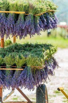 Fresh Lavender Bundles Drying