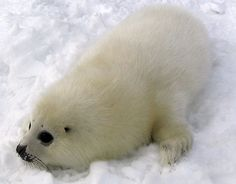 Baby Harp Seal Study: As warming water reduces sea ice, more seal pups are stranded.
