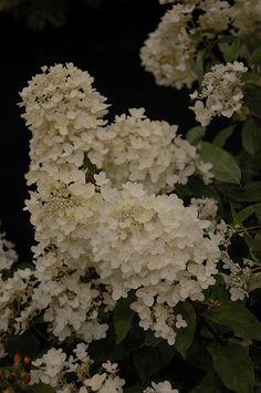 White Diamonds Hydrangea (Hydrangea paniculata 'White Diamonds') at Platt Hill…