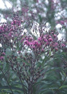 Jonesboro Giant Ironweed for sale buy Vernonia altissima 'Jonesboro Giant'