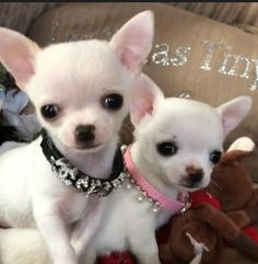 Las Vegas tiny and exclusive Color Chihuahua puppies ! Cute Puppies, Cute Dogs, Dogs And Puppies, Doggies, Teacup Puppies, Collie, Baby Chihuahua, Funny Dog Pictures, Cute Baby Animals