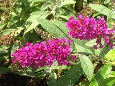 Buddleia davidii Buzz 'Magenta'   'Magenta' Dwarf Butterfly Bush