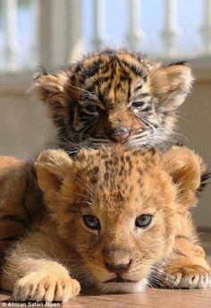"""A baby tiger and a lion cub, how great is our """"GOD""""! Tap the link for an awesome selection cat and kitten products for your feline companion! Cute Baby Animals, Animals And Pets, Funny Animals, Zoo Animals, Baby Wild Animals, Animal Babies, Big Cats, Cute Cats, Cats And Kittens"""
