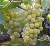 06 - Otra de las características en la producción del cognac, es que las uvas blancas se vendimian antes de estar totalmente maduras y por supuesto están sembradas en un terreno muy especial de un porcentaje muy alto de cal.