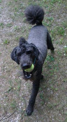 Sir Reginald playing fetch!