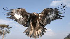 Bald Eagle Wallpaper Golden eagle