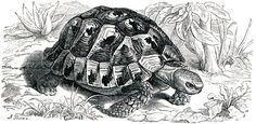 Mediterranean spur-thighed tortoise