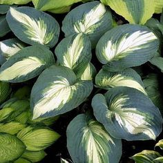 Hosta Hudson Bay All Information You Need To Know About Full Review