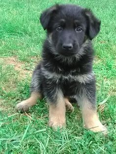 Litter of 4 German Shepherd Dog puppies for sale in WOOLWINE, VA. ADN-31924 on PuppyFinder.com Gender: Male. Age: 6 Weeks Old