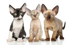"""( Devon Rex Kittens) KITTEN ON RIGHT: """" Weez hazn't joined a gang yets, but willz if der's anymores picture takin'. """""""