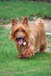 Resultado de imagen para australian terrier