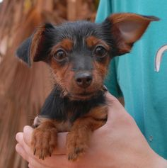 Colleen is a baby girl craving kindness and reassurance. She is a Yorkshire Terrier & Toy mix puppy, about 4 months of age, now spayed and debuting for adoption today at Nevada SPCA (www.nevadaspca.org). Colleen was found near an intersection with no sign of responsible ownership (no ID tag, no microchip ID, not spayed). She enjoys other dogs and she will do best in a home where she will be showered with love and adoration.