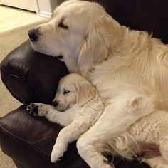 Resting like a mother and her puppy, or father and his puppy.