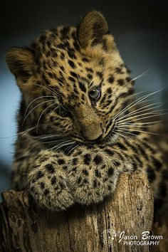 Awww.. Very cute! Leopard cub Kanika | Jason Brown