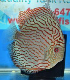 TIGER TURQUOISE Discus Fish, Reef Aquarium, Cichlids, Freshwater Aquarium, Aquariums, Fresh Water, Turquoise, Tanked Aquariums, Green Turquoise