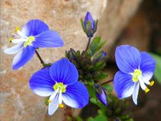 Syrian speedwell - flower in Israel