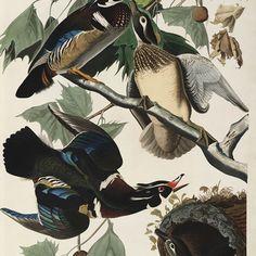 muurdecoratie wanddecoratie schilderij prent tekening kunst teylers museum vogels audubon uilen