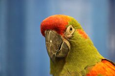 Sonu the Red Front Macaw