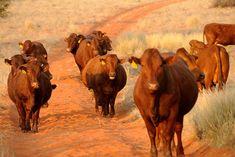 Hartebeestloop Gallery - Bonsmara Cows