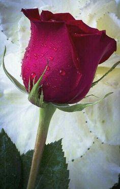 Beautiful Rose Flowers, Flowers Nature, Amazing Flowers, Beautiful Flowers, Rose Flower Pictures, Love Rose Flower, Good Morning Flowers, Flower Wallpaper, Rose Buds