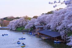 From late March to early May, Japan is blanketed in delicate pink and white sakura (cherry blossoms), attracting visitors from across the globe. Here are the best places to enjoy hanami, the thousand-year-old tradition of cherry blossom viewing.