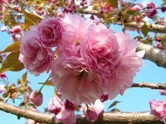 kwanzan flowering cherry tree.
