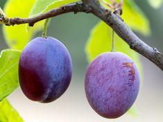 Ovoce, Švestky, Zralý, Větev