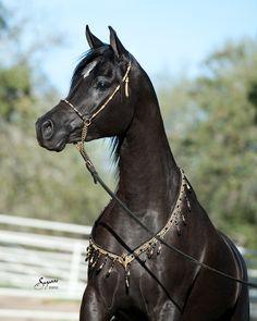 Black Straight Egyptian Arabian Horses | Alixir |