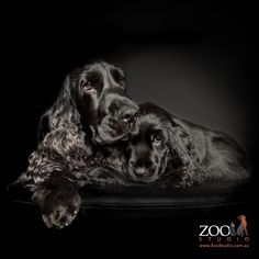 English Cocker Spaniel. This is Luby and Seger her son. #cocker spaniel