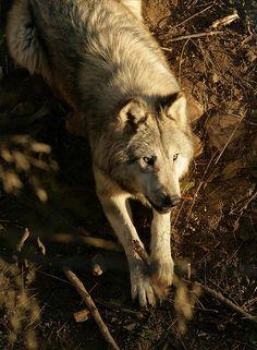 "the-smiling-wolf: ""😊🐺💖 "" Wolf Spirit, Spirit Animal, Beautiful Creatures, Animals Beautiful, Of Wolf And Man, Wolf Hybrid, Especie Animal, Wolf Stuff, Wolf Photos"
