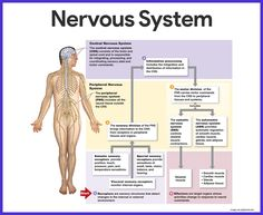 The Nervous System and Sense Organs – ICSE Solutions for Class 10 Biology - A Plus Topper Nervous System Organs, Nervous System Structure, Nervous System Diagram, Nervous System Anatomy, Human Nervous System, Peripheral Nervous System, Central Nervous System, Endocrine System, Brain Anatomy