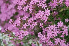 Saponaria ocymoides (Seifenkraut)